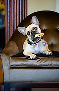 """SHOT 5/30/2007 - Images of Wende Curtis, the owner of Comedy Works in Denver, Co., with her French Bulldog """"Lucy"""" at The Landmark Sales Center. """"Lucy"""" strikes a pose while chewing on a treat on a chair..(Photo by Marc Piscotty © 2007)"""