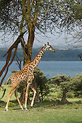 A Masai Giraffe (Giraffa camelopardalis tippelskirchi) under an Acacia tree also known as the Maasai Giraffe or Kilimanjaro Giraffe, is the largest subspecies of giraffe and the tallest land mammal. It is found in Kenya and Tanzania. Photographed in Serengeti National Park Tanzania