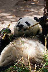A Giant panda (Ailuropoda melanoleuca) bear on its back eating bamboo, San Diego Zoo, San Diego, California, United States of America