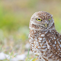 Sand-covered burrowing owl (Athene cunicularia) looks away from burrow, with a glaring expression that says digging is for the birds!