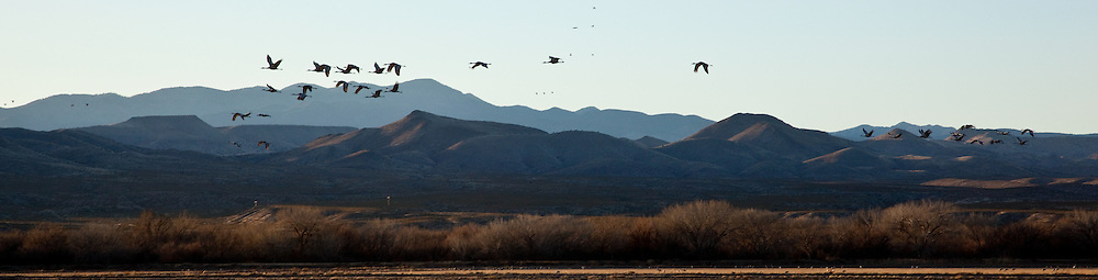 Bosque del Apache National Wildlife Refuge, New Mexico, Sandhill Cranes (Chen caerulescens) flying to roost
