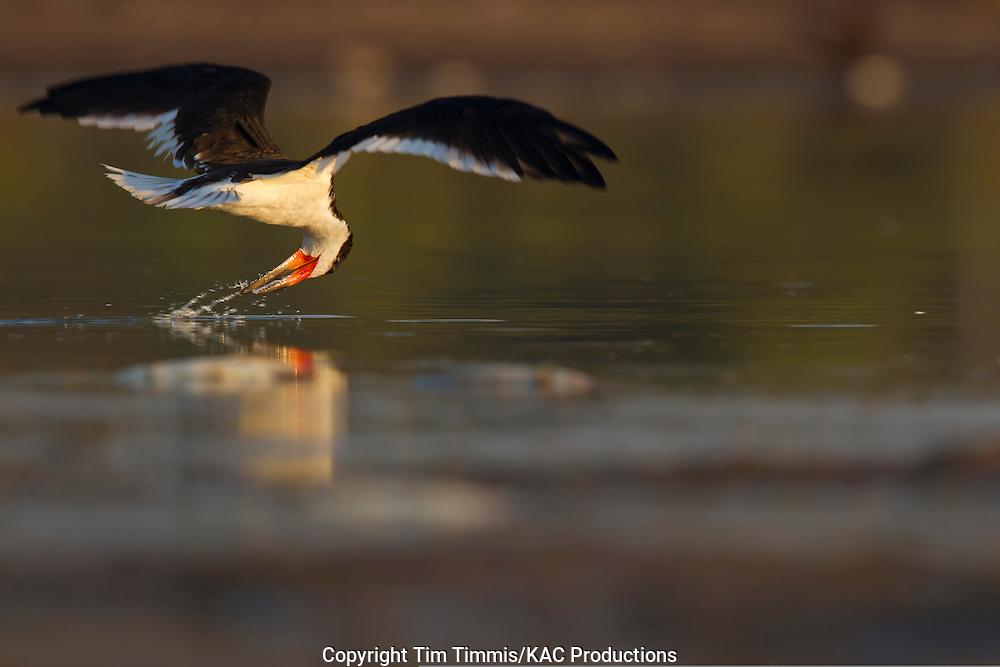 Black Skimmer, Rynchops niger, Bryan Beach, Texas gulf coast, skimming, head snapped back, splashing water,
