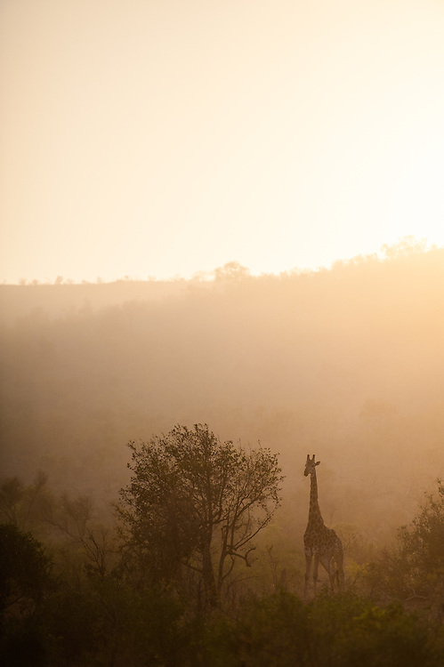 Southern Giraffe (Giraffa giraffa) male standing in African bush at sunrise