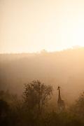 Southern Giraffe (Giraffa giraffa) male standing in African bush at sunrise