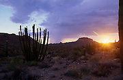 Stands of organ pipe cactus and saguaro cactus catch the last light of day in Organ Pipe National Monument near Ajo, Arizona, USA.
