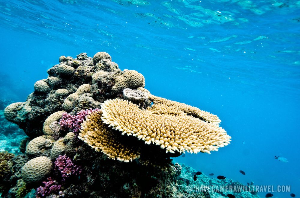 An underwater shot of some of the plate coral in shallow waters at Swains Reef on Australia's Great Barrier Reef.