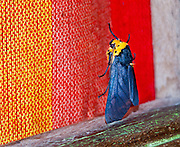 "A moth with blue wings and orange head contrasts with red and orange window drapes at Bellavista Cloud Forest Reserve, Tandayapa Valley, near Quito, Ecuador, South America. Published in ""Light Travel: Photography on the Go"" book by Tom Dempsey 2009, 2010."