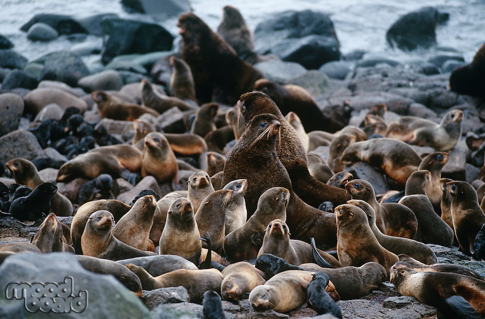 USA Alaska St. Paul Island colony of Northern Fur Seals on rocky shore