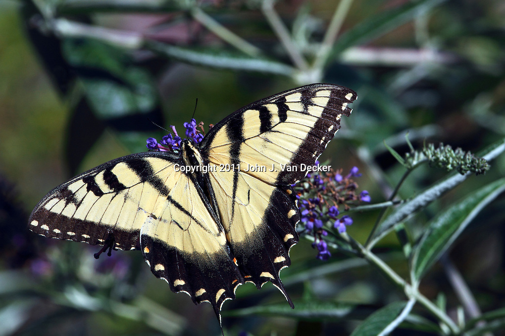 A male Eastern Tiger Swallowtail Butterfly, Papilio glaucus. The male lacks the blue trim on the hindwings. Passaic, New jersey, USA, North America