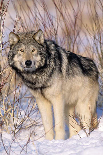 Gray Wolf (Canis lupus) Portrait of adult. Montana. Winter. Captive Animal.