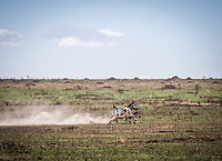 Cheetah chasing down zebra as he looks for his next meal in the Seregeti, Tanzania.