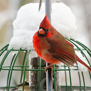 "Shortly after a snow storm, he's sitting next to a feeder letting one of his friends have a ""bite"".  I love the color on these birds and also the apparent expressions on their faces."