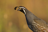 Grouse, Game Birds