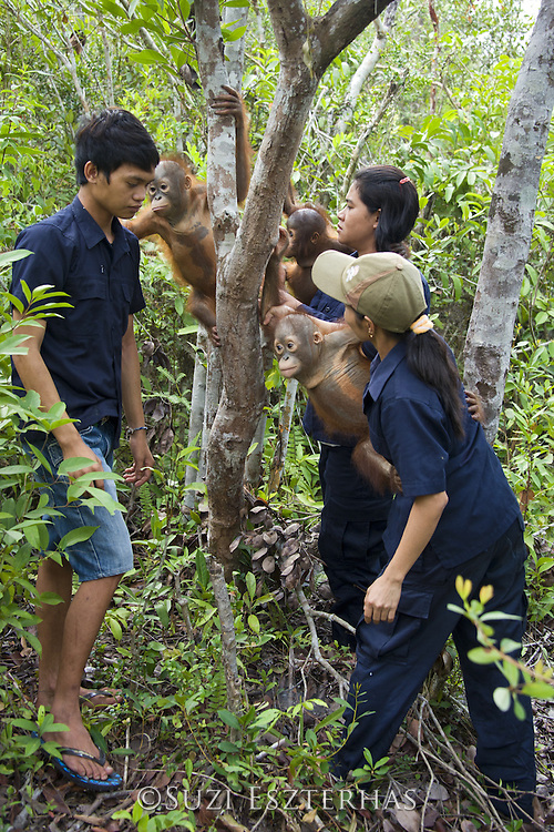 Bornean Orangutan<br /> Pongo pygmaeus<br /> Caretakers putting infants in tree for forest exploration and training<br /> Orangutan Care Center, Borneo, Indonesia<br /> *No model release available - for editorial use only