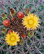 0115-1021 ~ Copyright:  George H. H. Huey ~ Fishhook barrel cactus (Ferocactus wislizenii) with uncommon yellow flowers.  Saguaro National Park. Arizona.
