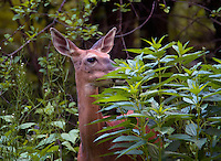This beautiful white-tailed doe is just browsing the vegetation trying to decide what would be great for lunch or dinner.