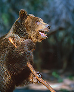 Grizzly bear holding a large stick. [captive, controlled conditions] © 1999 David A. Ponton