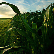 land - des moines, july 3 -- A healthy corn crop is covered with morning  dew as the sun rises on a farm south of Des Moines.  Iowa cultivates more land, some 91 percent or 28 million acres  of the state's total area - and is worth roughly $73million.  photo by david peterson