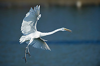 Great Egret (Ardea alba) comes in for a landing, Chapala, Jalisco, Mexico