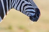 Whisker detail around the muzzle of a Burchells Zebra, Addo Elephant National Park, Eastern Cape, South Africa