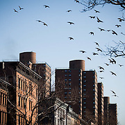 pigeons take flight over Harlem in New York city, USA