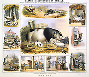 The Pig: Pannage; Boar hunting; Meat; Lard; Paint brush; Broom; Saddle. Hand-coloured lithograph by Waterhouse Hawkins published London c.850. From 'Graphic Illustrations of Animals and Their Utility to Man'