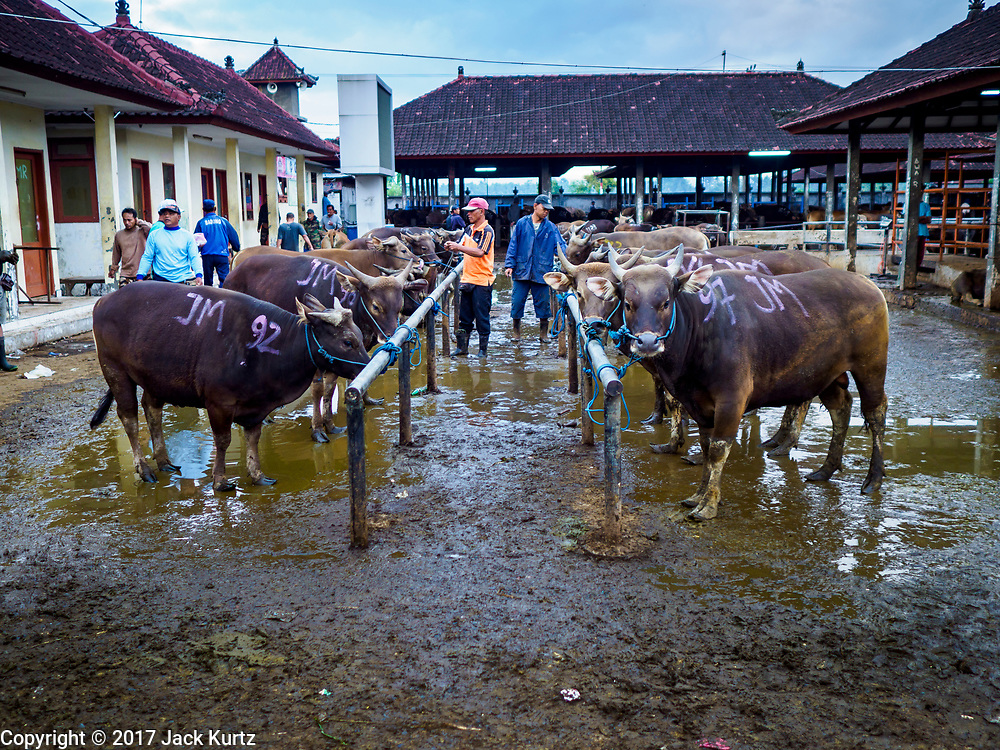 06 AUGUST 2017 - MENGWI, BALI, INDONESIA: Men look at Balinese cattle for sale in the Bringkit Market in Mengwi, about 30 minutes from Denpasar. Bringkit Market is famous on Bali for its Sunday livestock and poultry market. Hundreds of the small Bali cows are bought and sold there every week. Bali's local markets are open on an every three day rotating schedule because venders travel from town to town. Before modern refrigeration and convenience stores became common place on Bali, markets were thriving community gatherings. Fewer people shop at markets now as more and more consumers go to convenience stores and more families have refrigerators.     PHOTO BY JACK KURTZ