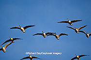 00748-05403 Canada geese (Branta canadensis) in flight, Riverlands Migratory Bird Sanctuary, MO