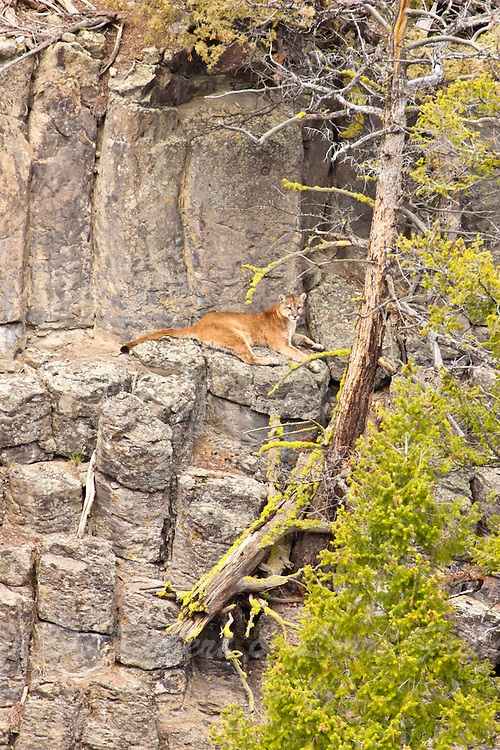 Mountain Lion in Yellowstone National Park