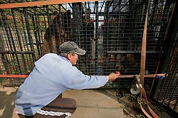 ROMANIA ONESTI 26OCT12 - Staff from the Zarnesti bear sanctuary and workers at Onesti zoo help to transfer a captive Eurasian brown bear into a transport cage.  ..The zoo has been shut down due to non-adherence with EU regulations on the welfare of animals.......jre/Photo by Jiri Rezac / WSPA......© Jiri Rezac 2012