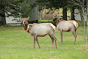 Elk Cows from the Clam Lake herd in northern Wisonsin.