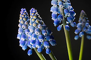 Grape hyacinth (Muscari), a ornamental garden flower native to the mediterranean. © Michael Durham / www.DurmPhoto.com.