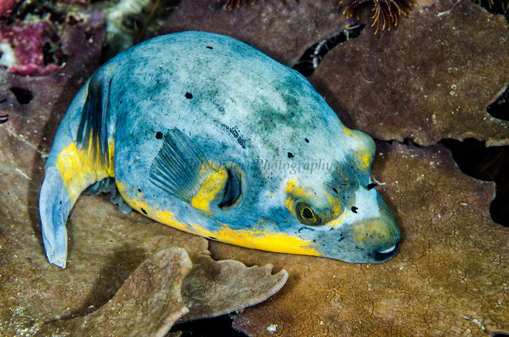 Blackspotted Puffer (Arothron nigropunctatus)<br /> Raja Ampat<br /> West Papua<br /> Indonesia