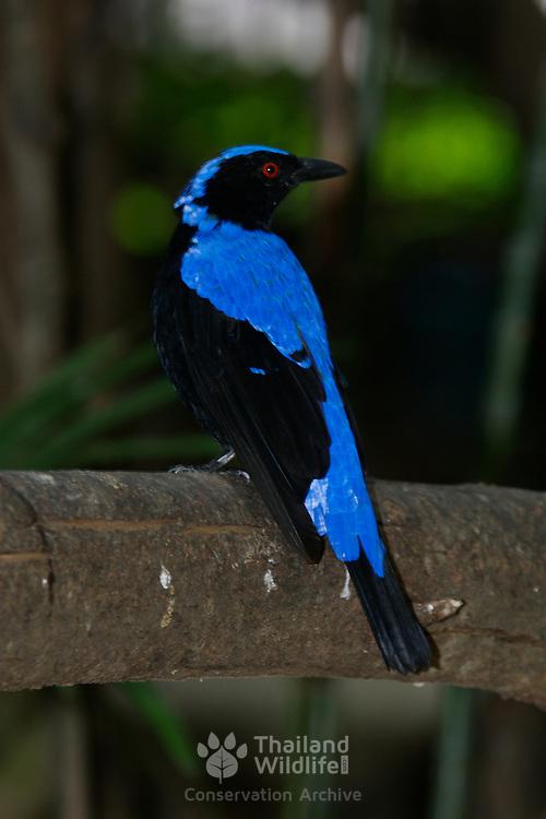 Asian Fairy Bluebird Irena puella