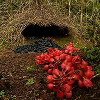 With a flair for home decor, the Vogelkop Bowerbird (Amblyornis inornata) produces perhaps the most artful creation of any animal, all in the name of romance. Here, a male bird shows off his collection of freshly collected flowers, fungi, beetle shells, and blue berries, neatly organized in piles laid out on a mat of meticulously cleaned moss. The twig hut in the back is not a nest - rather its construction is made entirely for the purpose of impressing a visiting female who will choose to mate with him only after a thorough inspection of his display. Arfak Mountains, Papua, Indonesia.