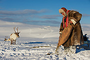 TROMSO, NORWAY - MARCH 28, 2011: Unidentified Saami man feeds reindeers in deep snow winter, Tromso region, Northern Norway.