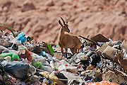 Ibex (Capra ibex nubiana) in city dump, photographed in Israel