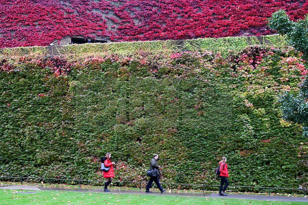 © Licensed to London News Pictures. 01/11/2019. London, UK. Members of public are seen walking in front of a wall covered with autumnal coloured leaves in Westminster on a mild November morning. Photo credit: Dinendra Haria/LNP