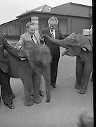 Baby Elephants presented To Dublin Zoo.  (M82)..1979..18.07.1979..07.18.1979..18th July 1979..H.B. Ice Cream yesterday presented two baby elephants from Thailand to the Zoological Gardens, Phoenix Park, Dublin..In acknowledging the gift, Mr Terry Murphy,Director of the Zoo, said that they had been without an elephant of their own for some time. The one currently there was on loan from a zoo in England and would be returned there shortly.. Hearing this H B decided to sponsor the importation of the two young elephants from Bangkok, Thailand..Picture shows the baby elephants enjoying all the attention being lavished on them by Mr Terry Murphy and Mr Ted Murphy.