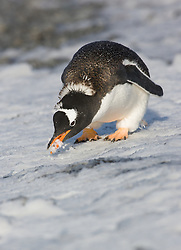 Gentoo Penguin (Pygoscelis papua) at Brown Bluff, Antarctica
