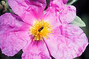 EN.- Rock Rose (Cistus albidus).  Detail of flower<br /> ES.- Estepa blanca (Cistus albidus). Detalle de la flor.
