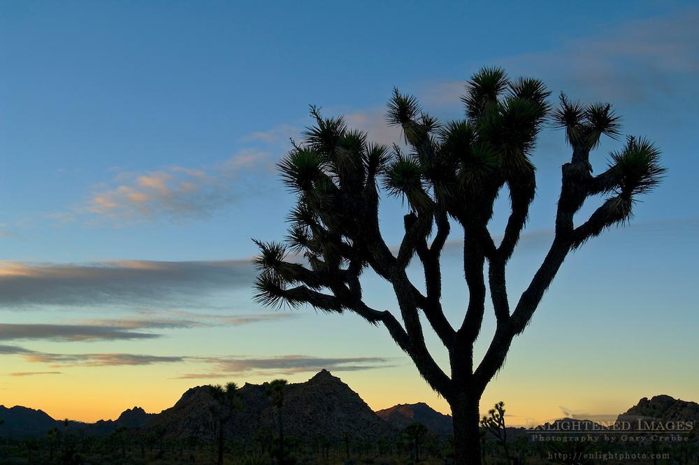 Joshua tree at sunset, near Quail Springs, Joshua Tree National Park, California