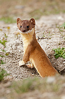 A Long Tailed Weasel stands just outside of its burrow in the ground this weasel is common throughout the United States.
