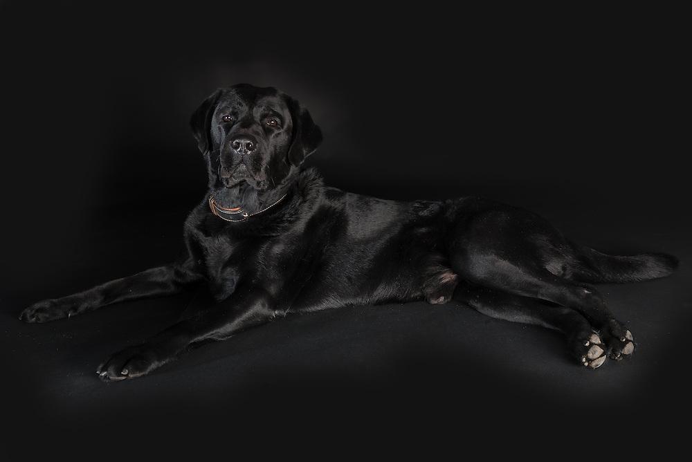 Fine Art honden fotografie Labrador Retriever