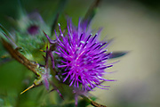 flowering purple milk thistle photographed at Tel Apollonia, on the Mediterranean Coast, Herzliya, Israel in Spring, April
