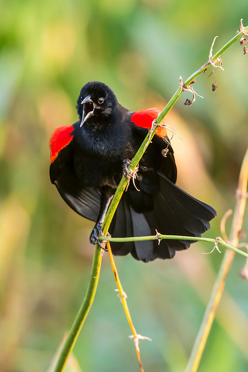 Male Red-Wing Blackbird, Agelaius phoeniceus, sings to attract a mate in Green Cay Wetlands Preserve in Delray, Florida, Palm Beach County, United States.