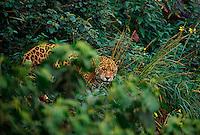 Wild Jaguar (Panthera onca) photographed in Belize, CA.