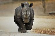 white rhinoceros, square-lipped rhinoceros, Ceratotherium simum, Rhinocéros blanc , Breitmaulnashorn, rinoceronte blanco, シロサイ, stumpneshorn, 白犀, وحيد القرن الأبيض