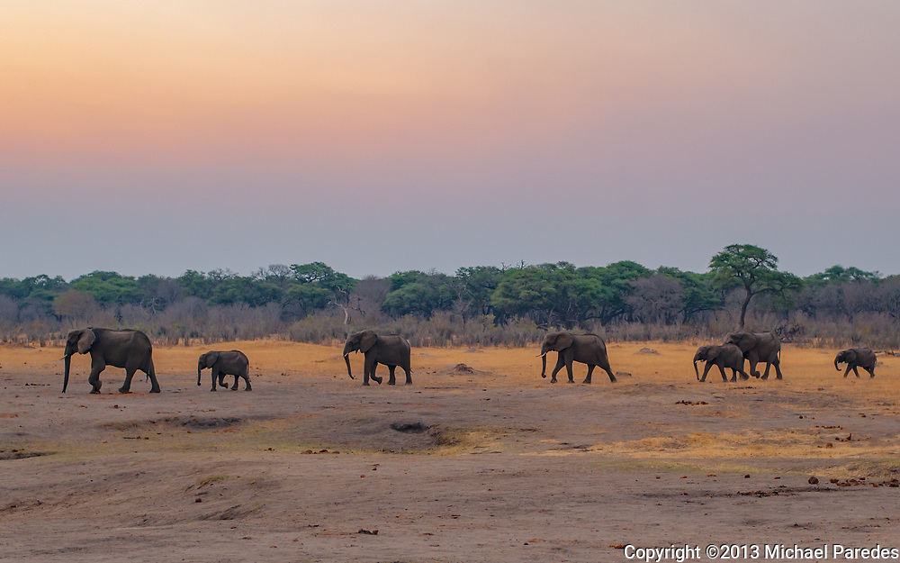 Wild elephants emerge from the forest to drink at a water hole in Zimbabwe
