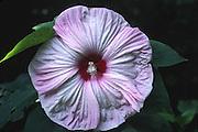 crimson eyed swamp rose mallow; Hibiscus Palustris Forma Peck II; flowering shrub